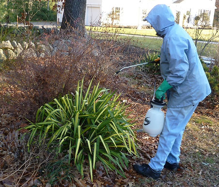 Spraying evergreens with an anti-dessica