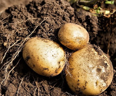 Brush the dirt off potatoes - never wash