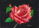Red Rose   $190