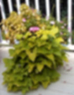 Overgrown or scraggly containers or plan
