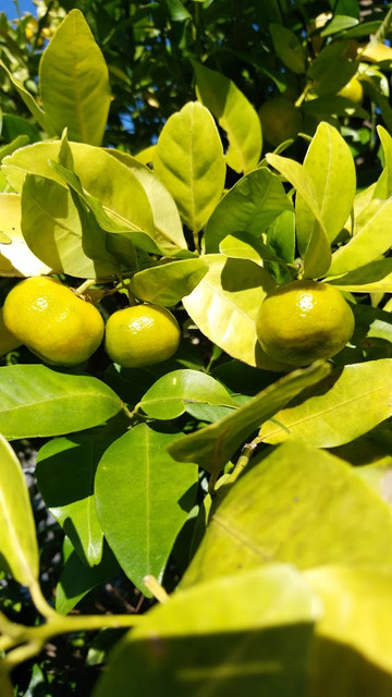 橘の収穫と製造が最盛期です。
