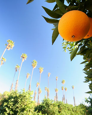 Orange Groves.jpg
