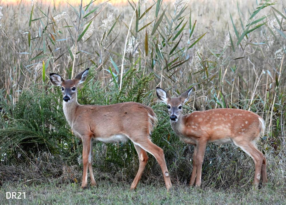 DR21_webpage_Deer_DSC0623.jpg