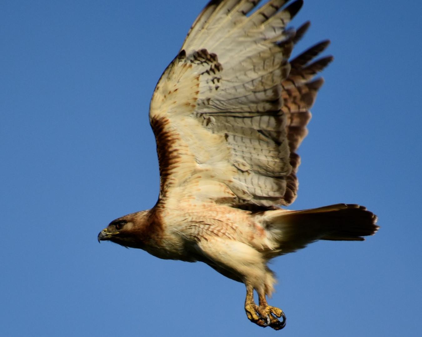 Hawk_DSC0198 (2).JPG