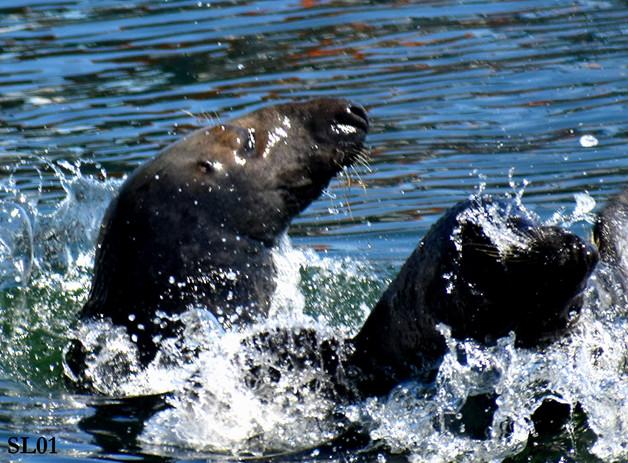 Web_SL01_Seals_DSC_9522.01.jpg