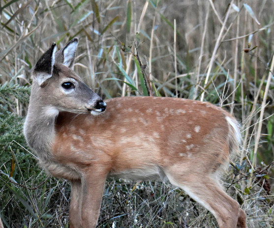 DR20_webpage_Deer_DSC0625.jpg