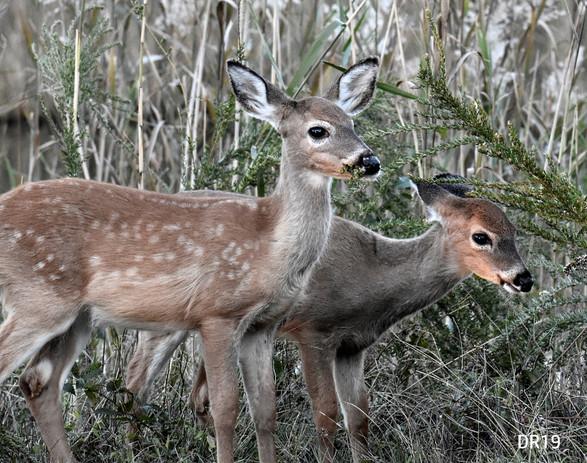 DR19_webpage_Deer_DSC0612.jpg