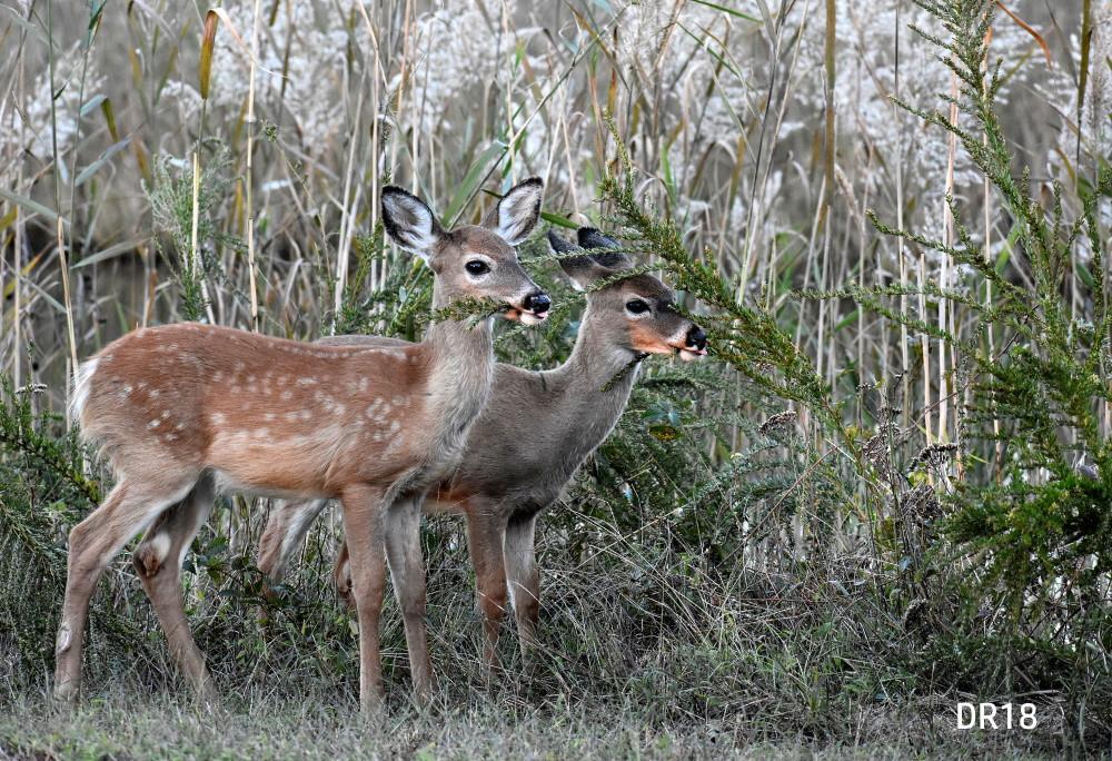 DR018_webpage_Deer_DSC0607.jpg