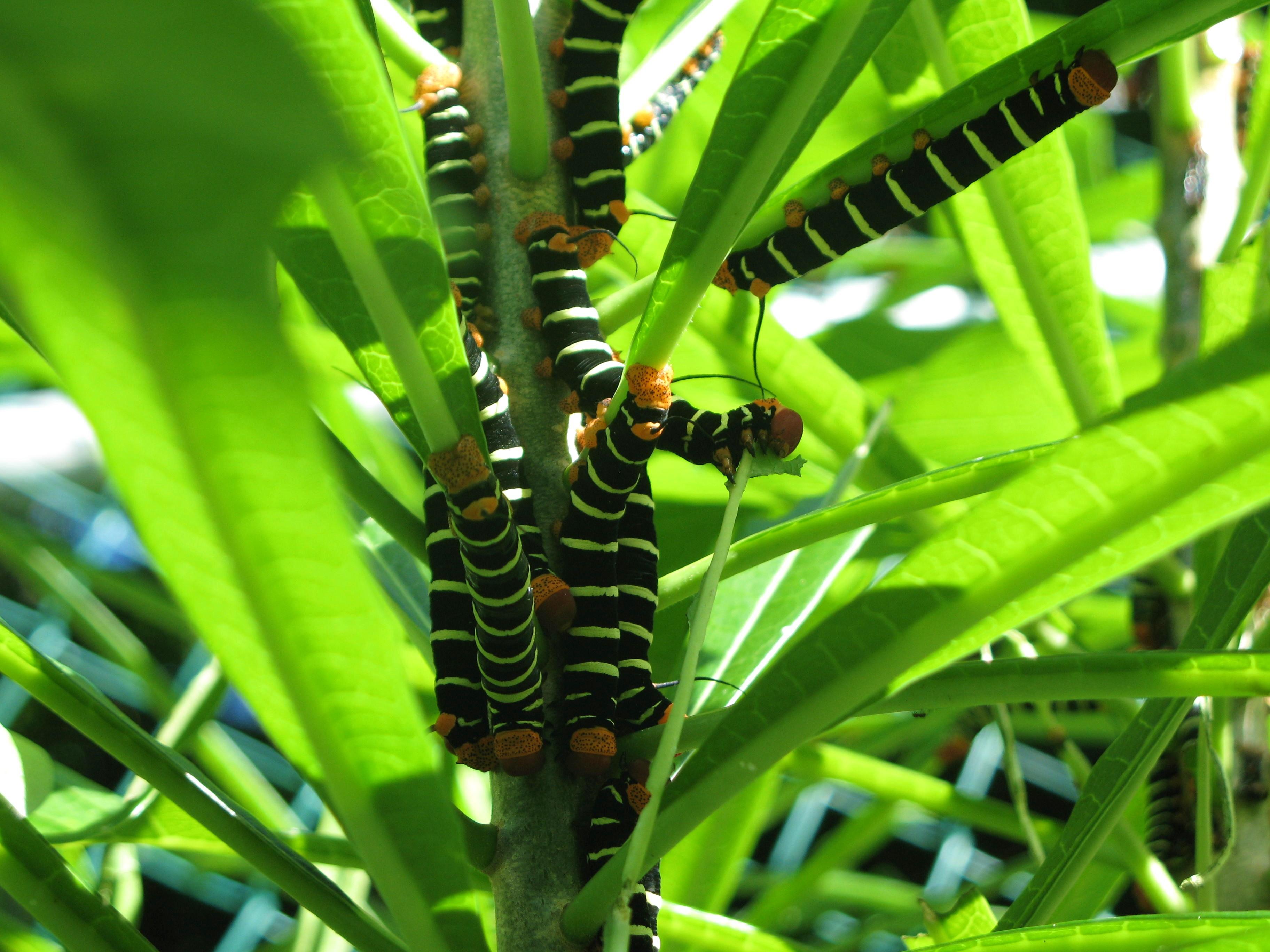 plumeria caterpillar