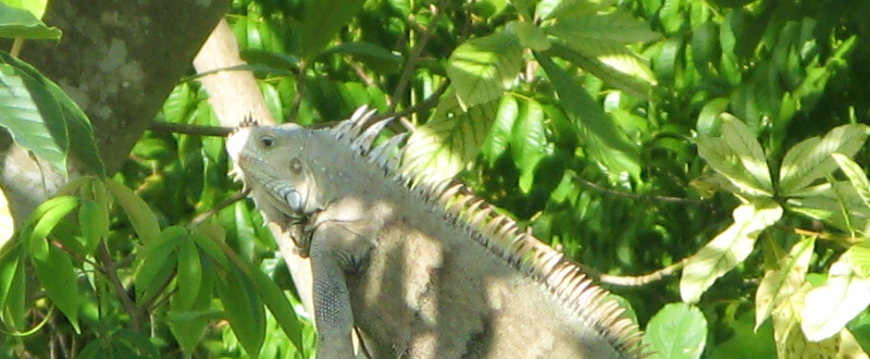 watch the iguana channel
