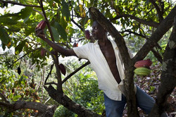 Picking the Cocoa Pods