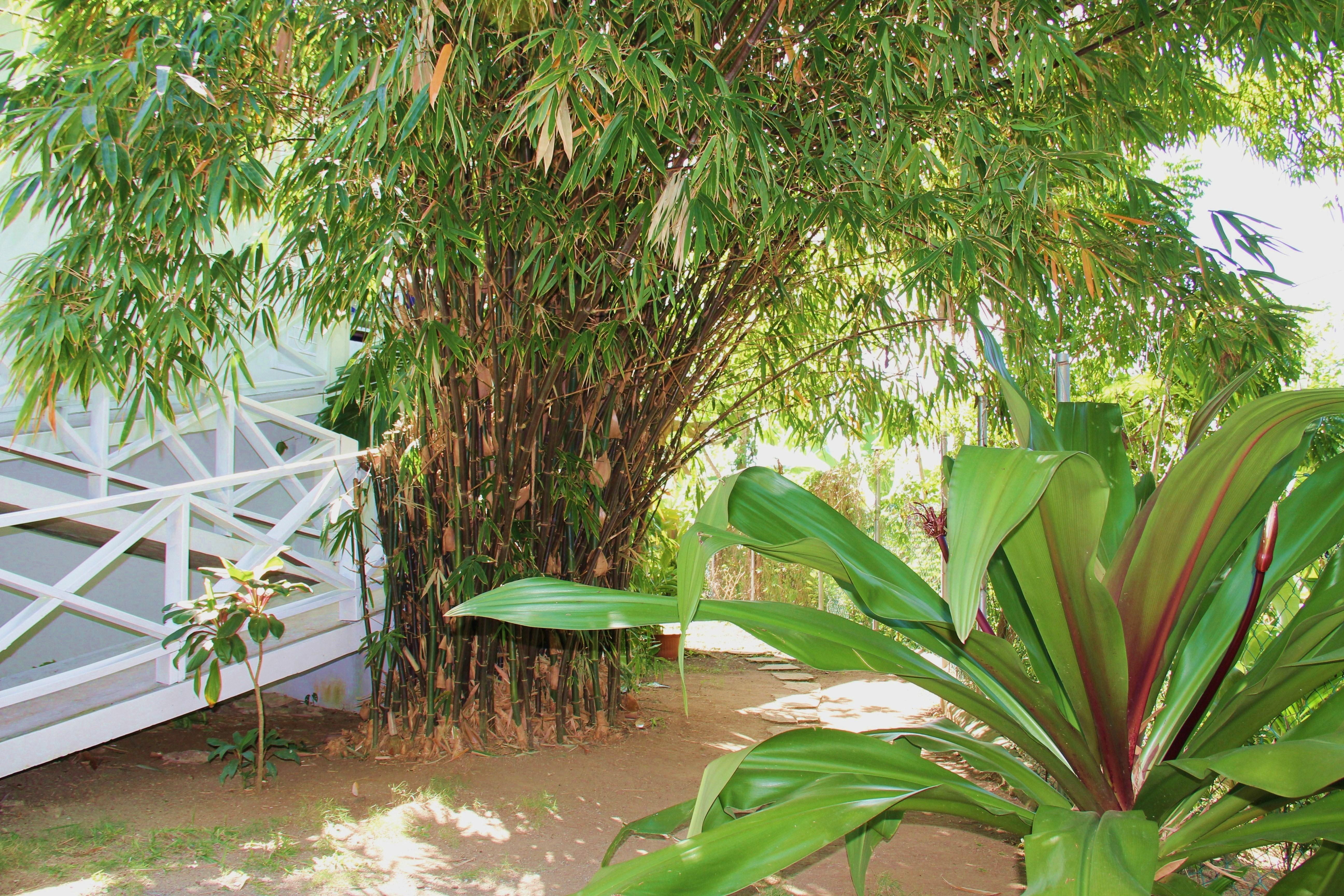 through the bamboo grove