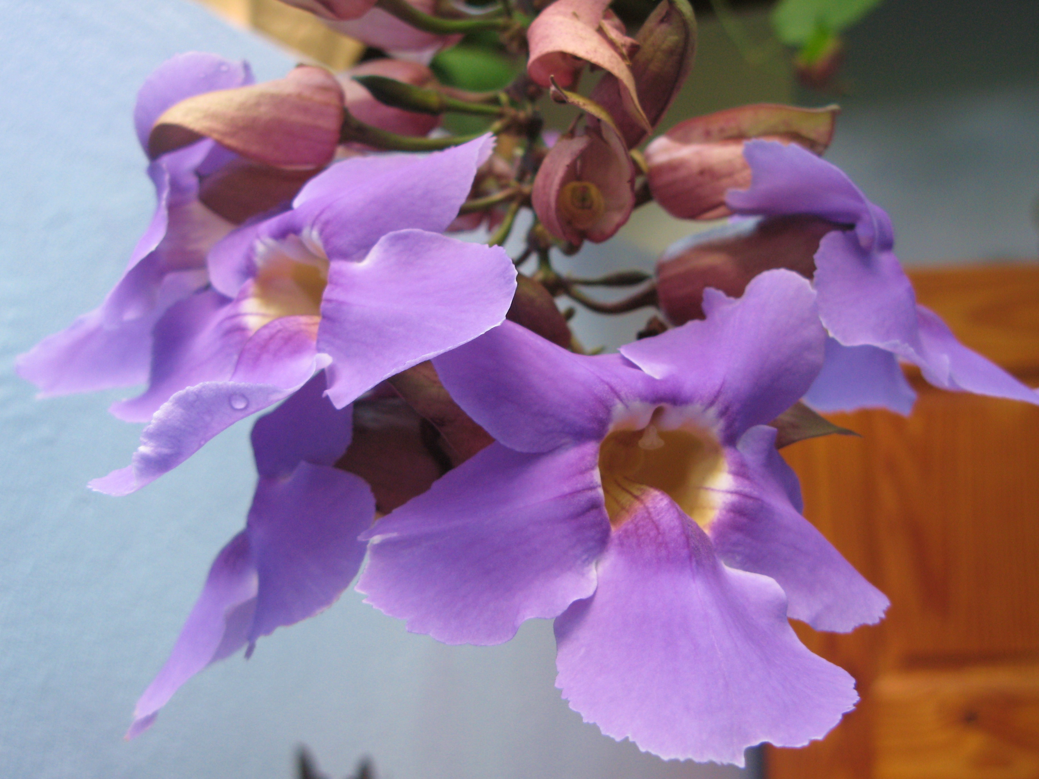 purple clock vine