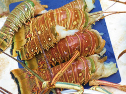 spiny tail lobster