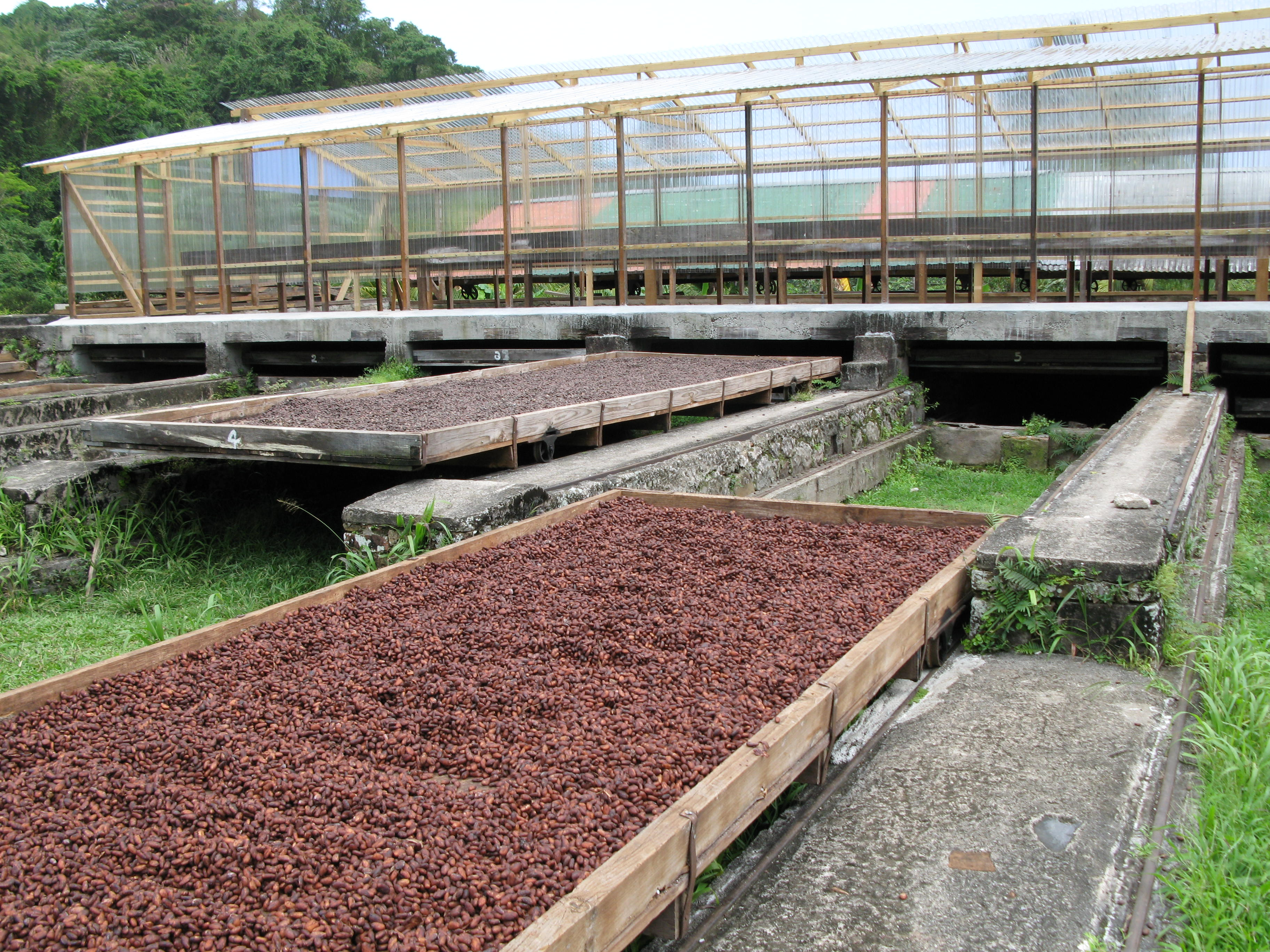 Drying the Cocoa Beans
