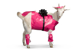 gift wrapped goat