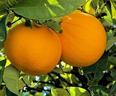 washington navel oranges on the tree