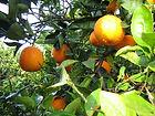 Washington navel oranges on the tree