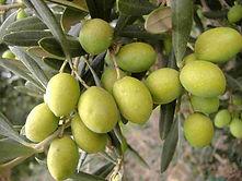 olive biancolilla biologiche