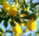 lemons ripe on the tree