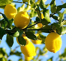 lemons ripe on the tree