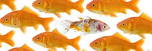 one-goldfish-being-different-2163432 (1)