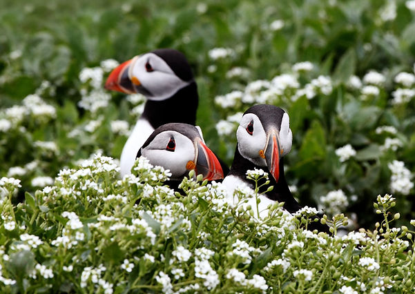 Puffins by Terry Bagley