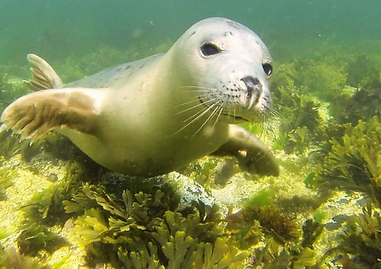 Marine Conservation Charity Grey Seal Pup by Ben Burville.jpg