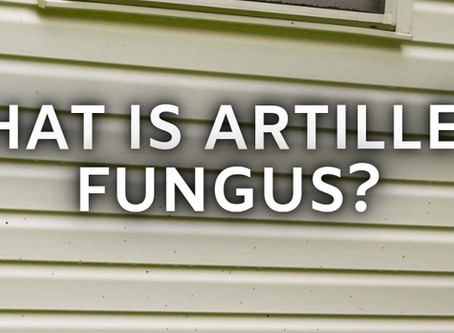 What Is Artillery Fungus?