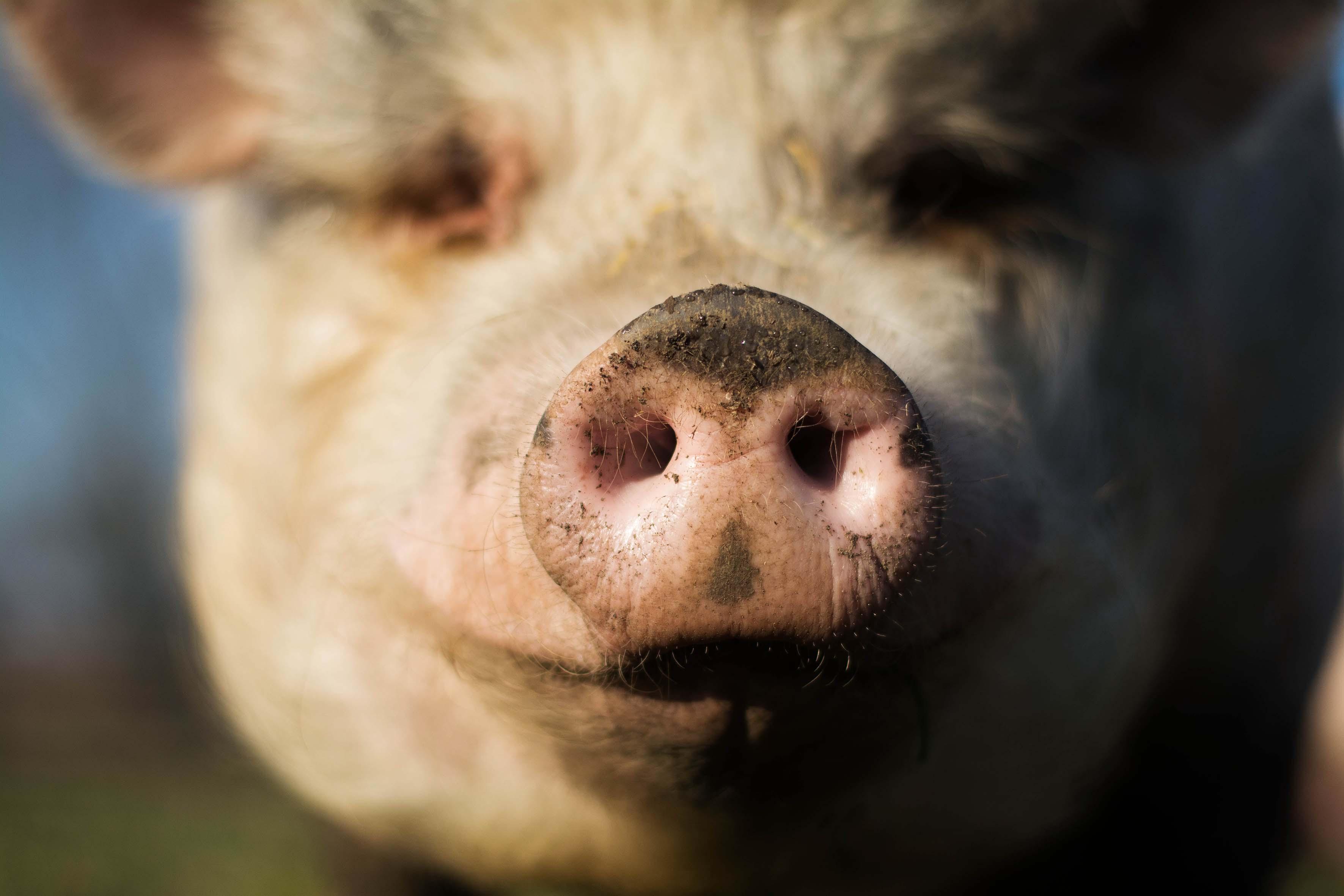 Die Schweine