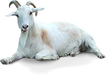 4-2-goat-transparent.png