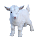 6-2-goat-png-pic.png