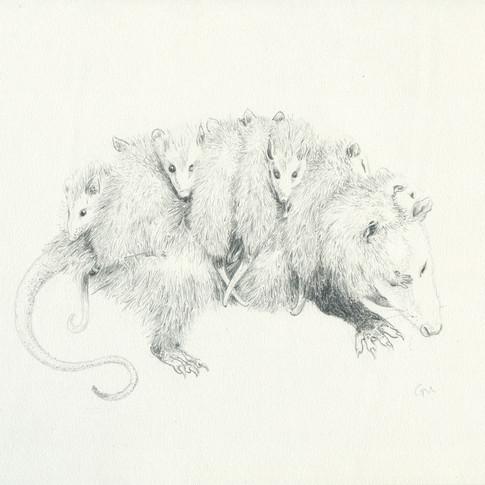Opossum Mother