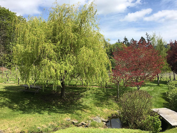Willow Tree overlooking a pond on the vineyard