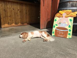 Sleepy Winery Pup Lawrence