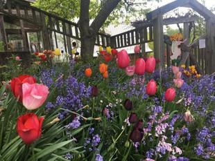 Tulip Season!