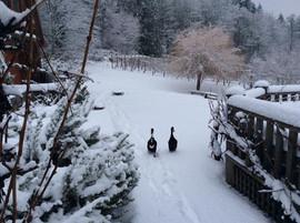 Chilly Ducks