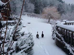 Chilly Ducks