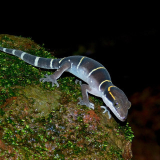 Boulenger's Indian Gecko
