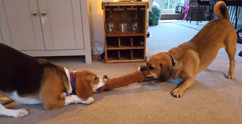 Dogs happily sharing a toy during play