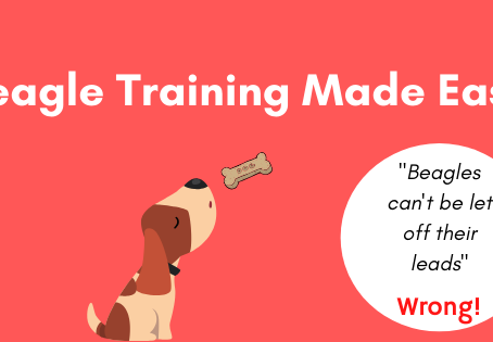 Beagle Training Made Easy- You Can Let Your Beagle Off Lead
