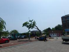 ステーションキャンパス 紅葉移植