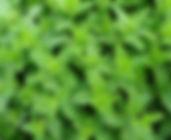 moroccan-mint-2396530_1920.jpg