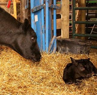 Baby Calf