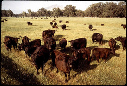 Cattle Outdoors