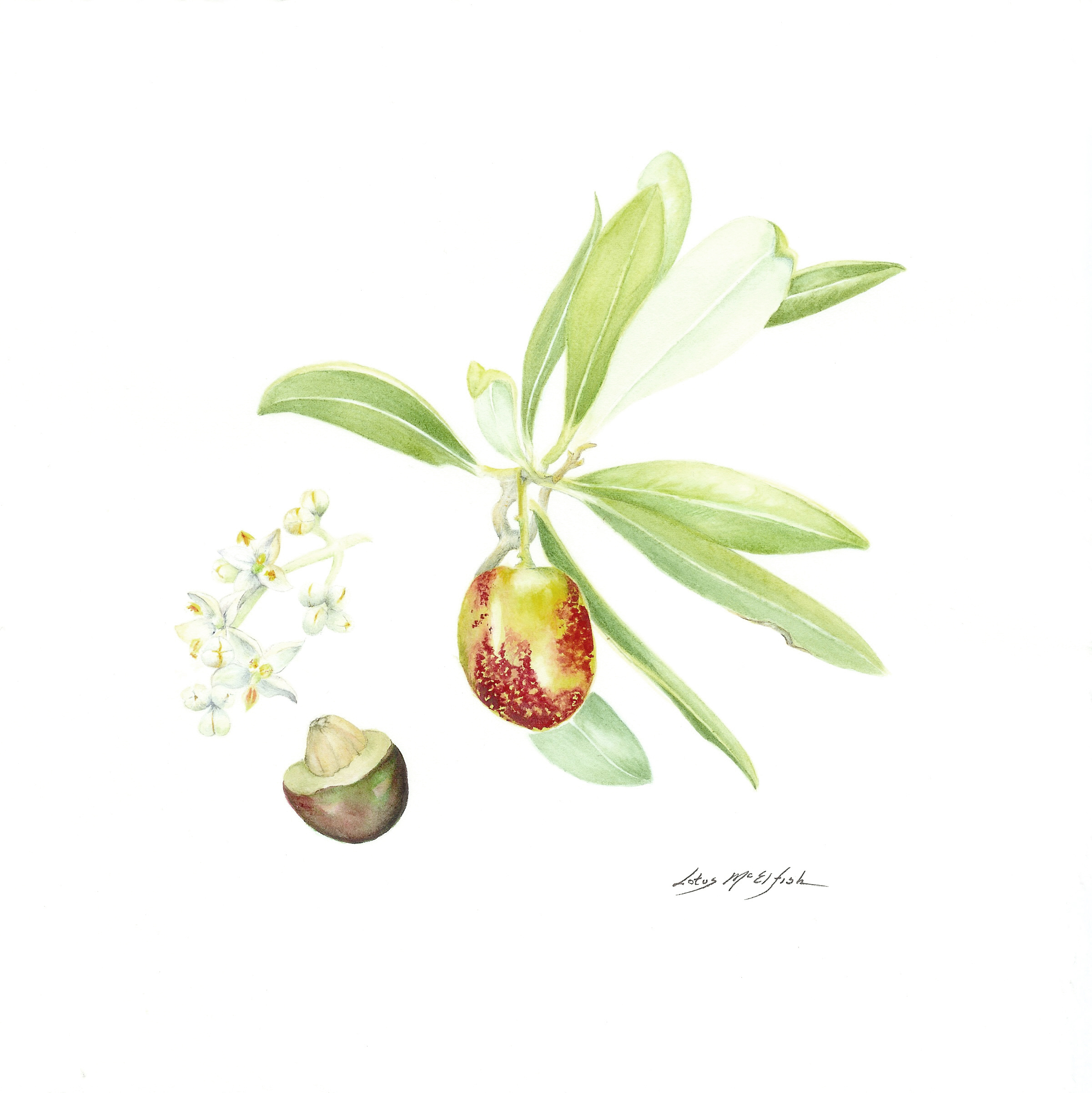Olive with Blossoms