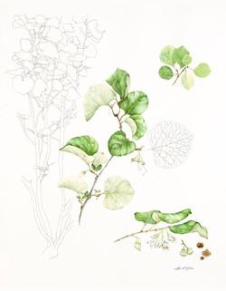 Endangered Texas Snowbell