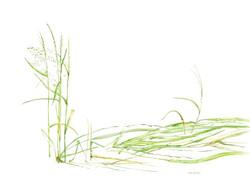 Endangered Texas Wild Rice