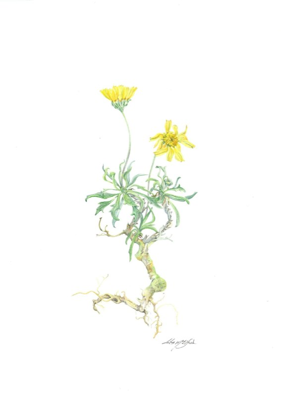 Slender-Stem Bitterweed