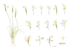 Pale Blue-eyed Grass